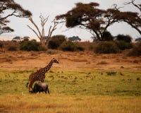 Afrikanische wild lebende Tiere stockbild