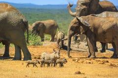 Afrikanische wild lebende Tiere in Addo Park Stockfotos