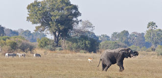 Afrikanische wild lebende Tiere auf Savanne Lizenzfreies Stockfoto