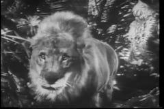 Afrikanische wild lebende Tiere der Montage auf dem Prowl stock footage