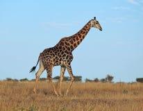 Afrikanische wild lebende Tiere: Giraffe lizenzfreie stockbilder