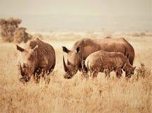 Afrikanische wild lebende Tiere Schwarze Rhinos Lizenzfreie Stockfotografie