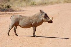 Afrikanische wild lebende Tiere: Warthog stockfotos