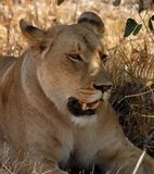 Afrikanische wild lebende Tiere: Weiblicher Löwe stockbild