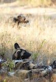 Afrikanische wilde Hunde Stockfotos