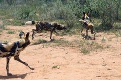 Afrikanische wilde Hunde Stockbild
