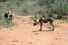 Afrikanische wilde Hunde Lizenzfreie Stockfotografie