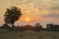 Afrikanische wilde Hunde bei Sonnenuntergang Stockbild