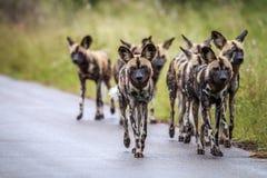 Afrikanische wilde Hunde, die in Richtung zur Kamera gehen lizenzfreies stockfoto