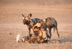 Afrikanische wilde Hunde (Lycaon pictus) Stockbild