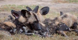 Afrikanische wilde Hunde, Teil eines größeren Satzes bei Sabi Sands Reserve, Kruger, Südafrika Anvisieren sind extrem selten lizenzfreies stockbild