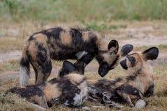 Afrikanische wilde spielende Hunde, Teil eines gr??eren Satzes bei Sabi Sands Reserve, Kruger, S?dafrika Anvisieren sind extrem s lizenzfreie stockfotos