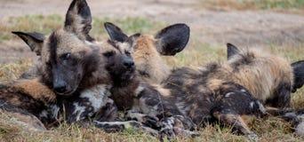 Afrikanische wilde spielende Hunde, Teil eines gr??eren Satzes bei Sabi Sands Reserve, Kruger, S?dafrika Anvisieren sind extrem s lizenzfreies stockbild