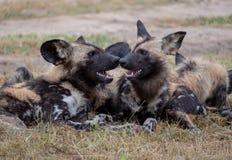 Afrikanische wilde spielende Hunde, Teil eines gr??eren Satzes bei Sabi Sands Reserve, Kruger, S?dafrika Anvisieren sind extrem s lizenzfreie stockfotografie