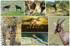 Afrikanische wilde Tiere Lizenzfreie Stockfotos