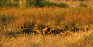 Afrikanische wilder Hundesatz-Fütterung Lizenzfreies Stockbild