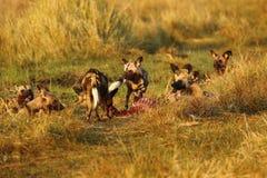 Afrikanische wilder Hundesatz-Fütterung Lizenzfreies Stockfoto