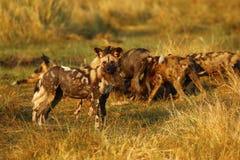 Afrikanische wilder Hundesatz-Fütterung Stockbilder