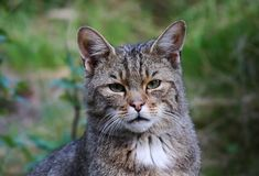 Afrikanische Wildkatze (Felis silvestris lybica) Stockbilder