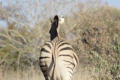 Afrikanische Zebra-Rückseite Stockbild