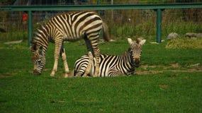 Afrikanische Zebrafohlen, die auf dem Gebiet spielen Stockfotografie