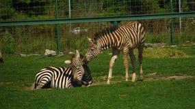 Afrikanische Zebrafohlen, die auf dem Gebiet spielen Stockbild