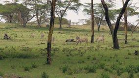Afrikanische Zebras Graze On eine grüne Wiese unter Akazien-Bäumen stock footage