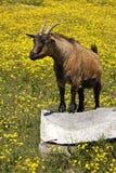 Afrikanische Ziege Browns auf dem Gebiet von gelben Blumen Lizenzfreie Stockfotos