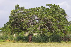 Afrikanischer Acajoubaum Lizenzfreie Stockbilder