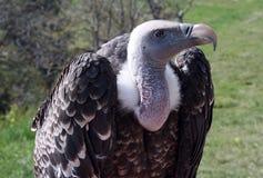Afrikanischer Adler Stockbilder