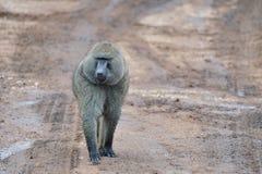 Afrikanischer Affe, der auf Straße geht Stockfoto