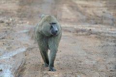 Afrikanischer Affe, der auf Straße geht Lizenzfreies Stockfoto