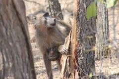 Afrikanischer Affe und ihr Baby Lizenzfreies Stockfoto