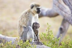 Afrikanischer Affe und ihr Baby sitzt zusammen Lizenzfreie Stockfotos