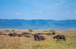 Afrikanischer Büffel Lizenzfreie Stockfotos
