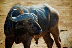 Afrikanischer Büffel Stockfotos
