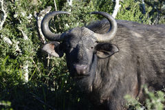 Afrikanischer Büffel, Addo Elephant National Park Lizenzfreie Stockbilder