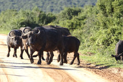 Afrikanischer Büffel, Addo Elephant National Park Stockfoto