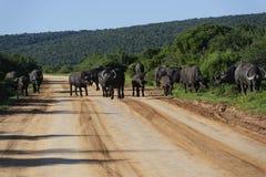 Afrikanischer Büffel, Addo Elephant National Park Lizenzfreies Stockbild