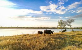 Afrikanischer Büffel, amerikanischer Bison, Tier, Tierkopf, Vieh lizenzfreies stockfoto