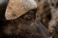 Afrikanischer Büffel (Syncerus Caffer) Lizenzfreies Stockbild