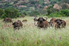 Afrikanischer Büffel - Syncerus-caffer, Kenia, Afrika Lizenzfreies Stockfoto