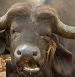 Afrikanischer Büffel und Oxpecker Lizenzfreie Stockfotos