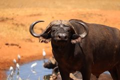 Afrikanischer Büffel am waterhole stockbild