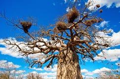 Afrikanischer Baobabbaum Stockfoto