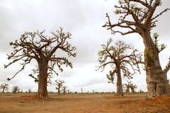 Afrikanischer Baobabbaum auf Baobabsbaumfeld Lizenzfreies Stockfoto