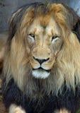 Afrikanischer Barbary-Löwe stockbild