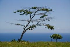 Afrikanischer Baum in Kona Stockfotos