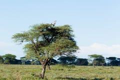 Afrikanischer Baum mit Vogel Stockfotos