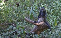 Afrikanischer blauer Affe Stockfoto
